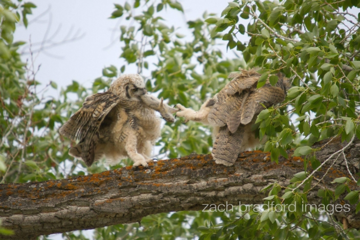 yellowstone_owls1