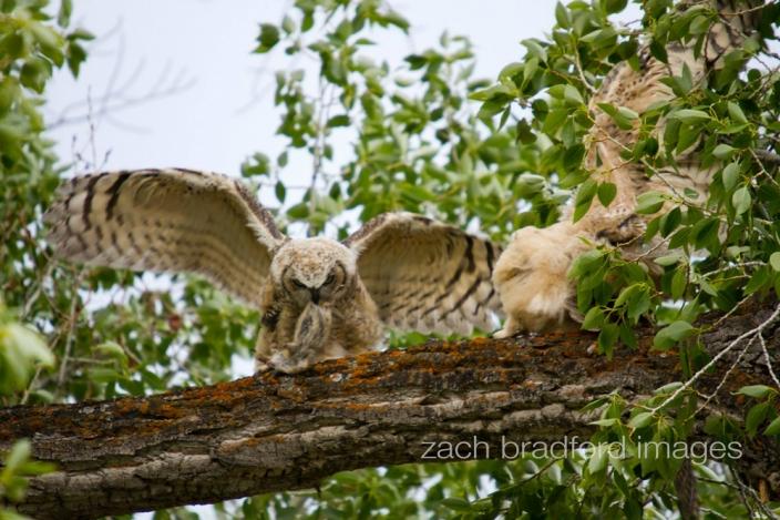 yellowstone_owls2