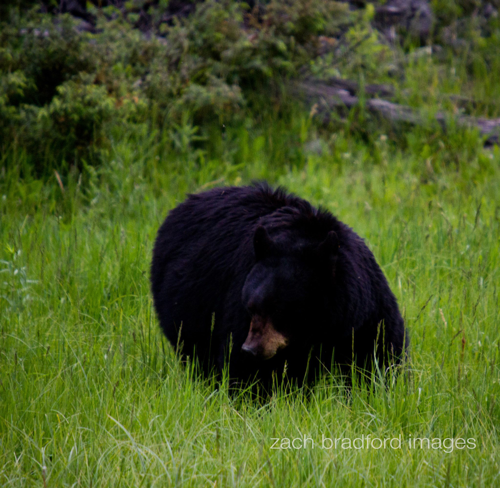 yellowstone_bears3