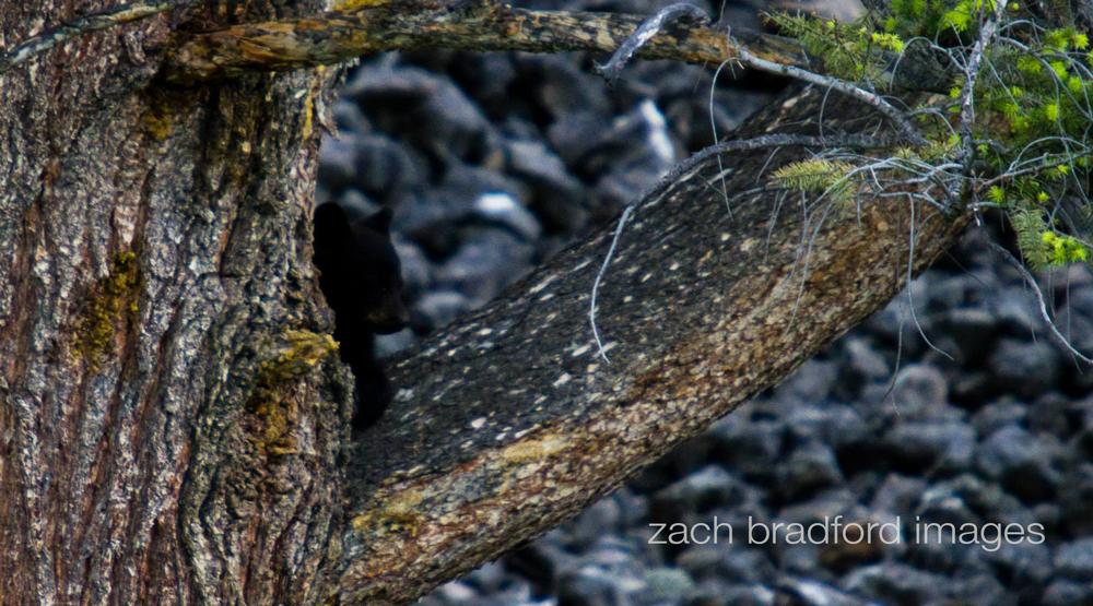 yellowstone_bears4